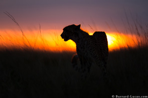 Cheetah at Sunset, Liuwa Plain, November 2015