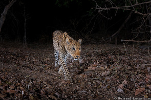 Leopard photographed using a Camtraptions Camera Trap, October 2015