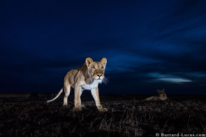 Lioness photographed with BeetleCam at dusk.