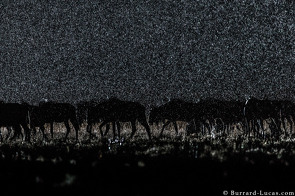 Wildebeest migration in the rain. The rain was backlit by an off-camera flash.