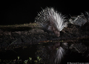 Porcupines captured on a Camtraptions camera trap.