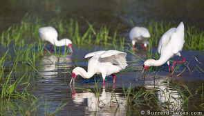 Spoonbills feeding in an area of flooded land, South Luangwa National Park.