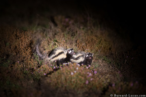 Striped polecats (zorillas) are rarely seen.