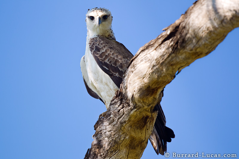 Martial Eagle - Burrard-Lucas Photography