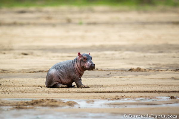 An adorable newborn baby hippo.