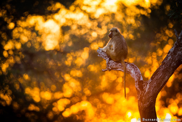 Backlit Baboon