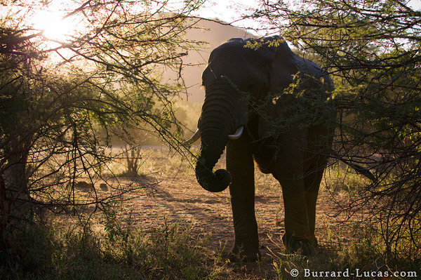 A feeding Elephant, backlit by the setting sun, Lower Zambezi National Park.