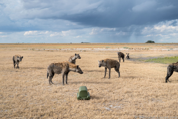BeetleCam photographing a group of hyenas in Liuwa Plain.