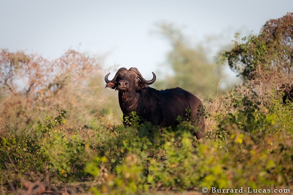 A Bull African Buffalo on the banks of the Zambezi River, Lower Zambezi National Park.
