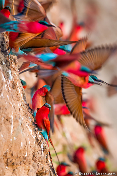 Carmine Bee-eaters flying