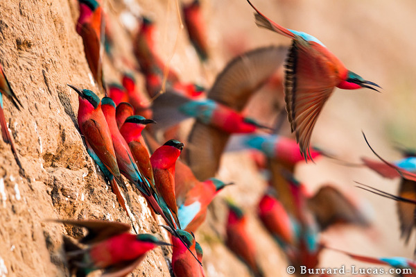 Nesting carmine bee-eaters on the banks of the Luangwa.