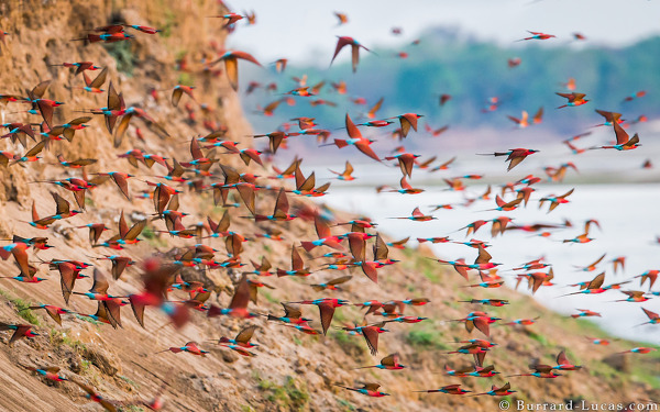 Carmine Bee-eaters, South Luangwa, October 2015