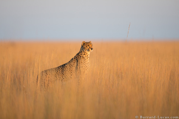 Cheetah at sunrise, Liuwa Plain National Park, Zambia