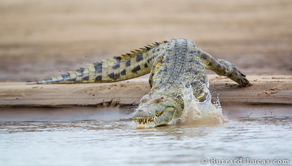 A big crocodile splashes into the Luangwa River.