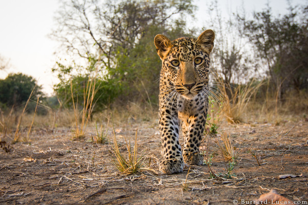 A curious leopard cub checks out BeetleCam.