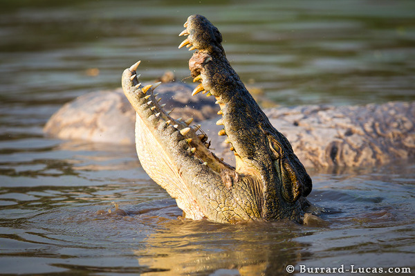 Crocodile feeding on a dead hippo.