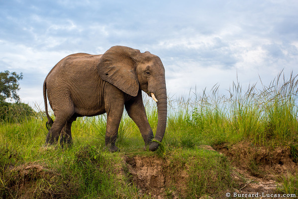 elephant_grazing