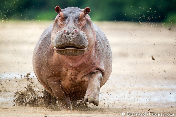 Mother hippo in full charge... terrifying!