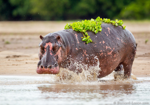 Hippo Weed