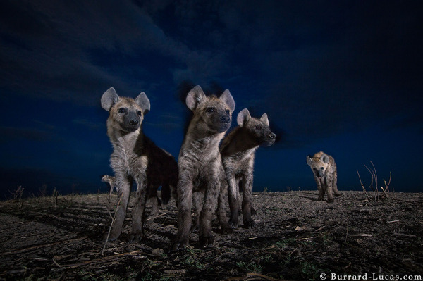 Hyenas at Dusk