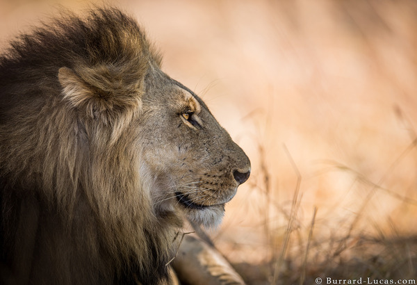 Male Lion, South Luangwa, October 2015