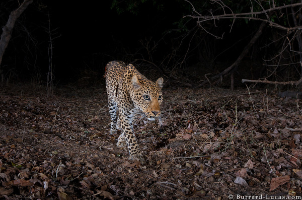 Leopard on Camera Trap