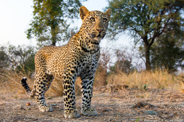The first leopard ever photographed by BeetleCam!