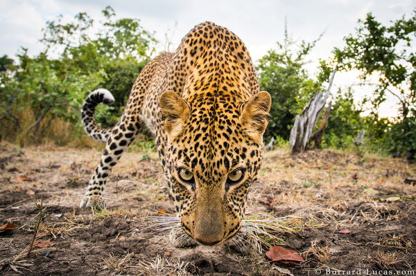 Leopard photographed with BeetleCam