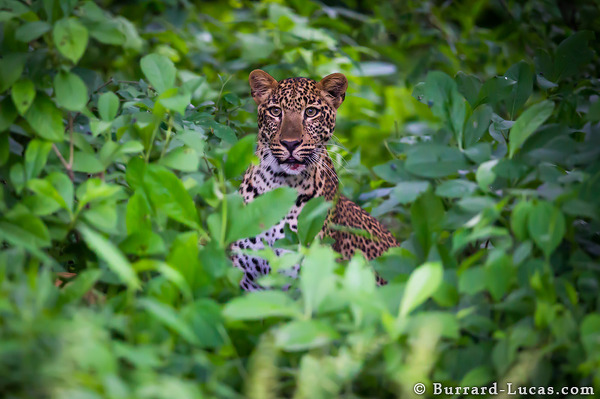 A leopard in thick undergrowth.