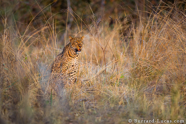 A female leopard, South Luangwa.