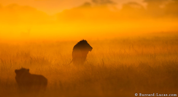Male Lion Sunrise