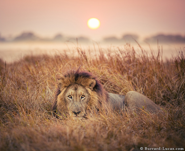 Male Lion at Sunrise