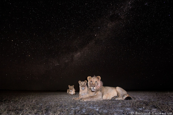 Lions photographed under the Milky Way.