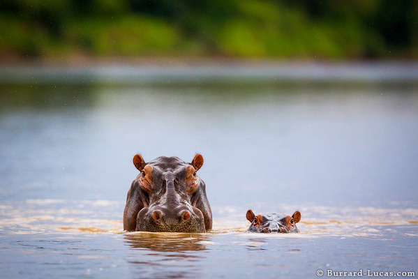 Mum and Baby Hippo