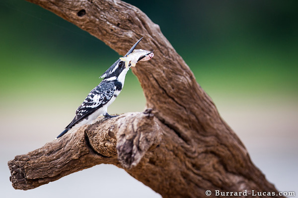 A pied kingfisher with a fish.