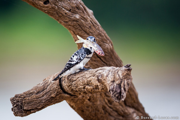 Pied Kingfisher With Fish