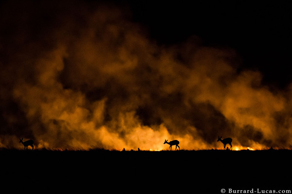 Reedbuck pushed by a bushfire at night.