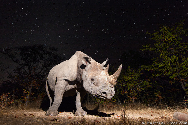 Rhino at night photographed with a prototype camera trap