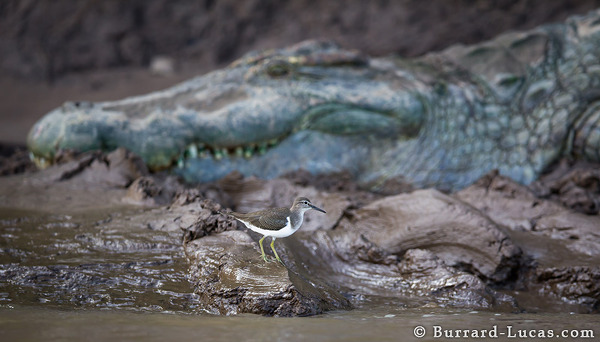 A tiny sandpiper and a monstrous croc on the banks of the Luangwa River.