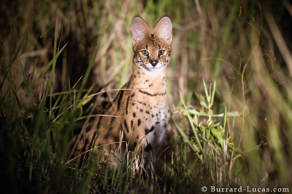A Serval Cat at night, South Luangwa National Park.