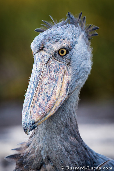 Shoebill Burrard Lucas Photography