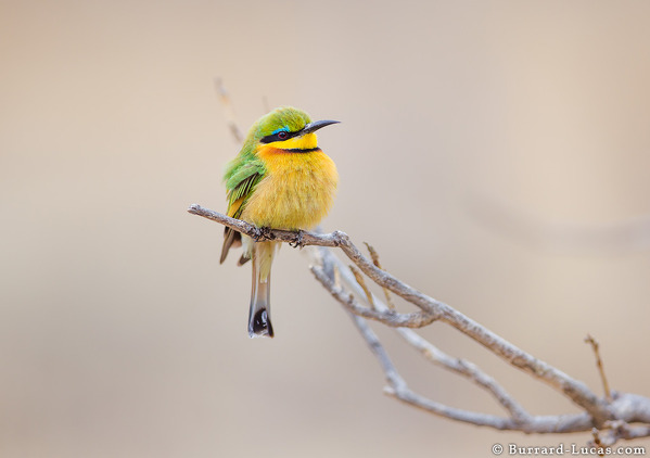 Small Bee-eater