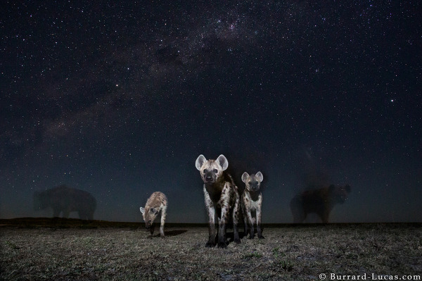 Hyenas photographed under the stars.