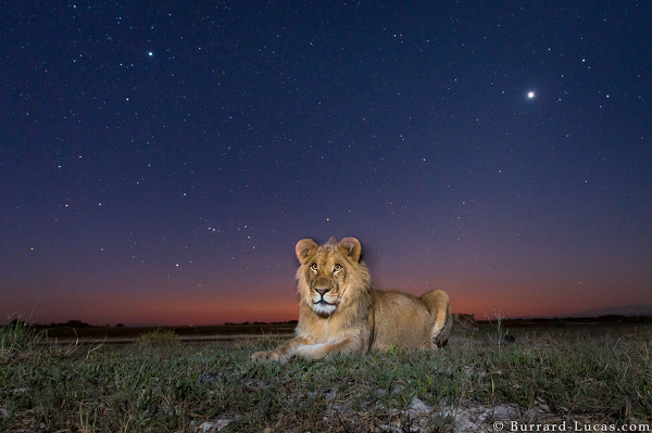 Lion photographed with BeetleCam in twilight.