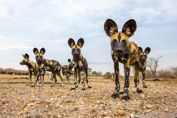 African wild dogs photographed with BeetleCam.