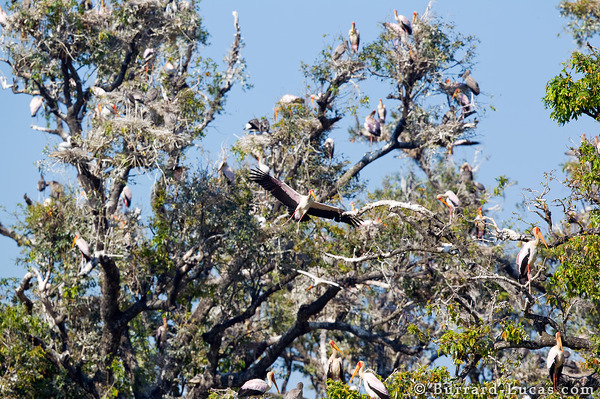 Yellow-billed Stork Colony