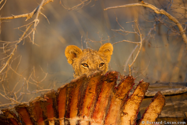 A Young Lion With Ribs