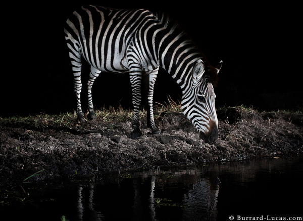 Zebra drinking captured on a Camtraptions camera trap.