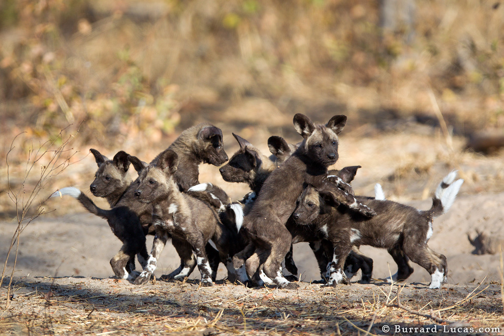 Playing Wild Dog Puppies Burrard Lucas Photography