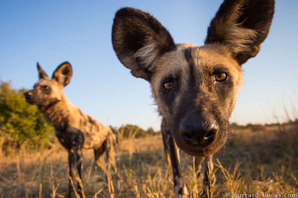 Painted Dogs, Hwange National Park